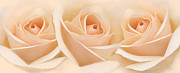 Peach Rose Photos - Roses Three Peach Floral by Jennie Marie Schell