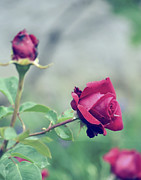 Roses Print by Tudor Catalin Gheorghe
