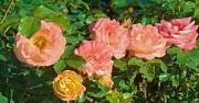 Van Ness - Roses