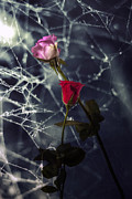 Gloomy Photo Prints - Roses With Coweb Print by Joana Kruse