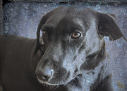Working Dogs Framed Prints - Rosie Sweet Labrador Framed Print by Janice Rae Pariza