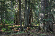 Tall Trees Prints - Ross Creek Old-growth Cedar Trees Print by Daniel Hagerman