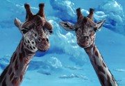 Tom Blodgett Jr - Rothschild Giraffe