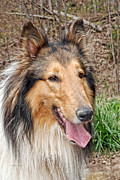 Lassie Posters - Rough Collie Poster by Kenny Francis