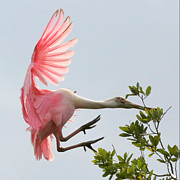 Spoonbill Photos - Rough Landing by Carol Groenen