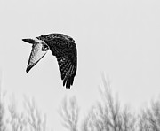 Buzzard Art - Rough-legged Hawk 2 by Thomas Young