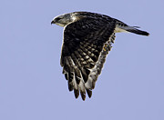 Buzzard Art - Rough Legged Hawk In Flight by Thomas Young