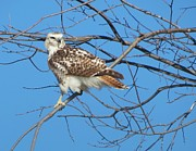 Rebecca Overton - Rough Legged Hawk