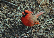 Birds Photos - Round little Cardinal - 51010719h by Paul Lyndon Phillips