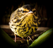 Vocal Prints - Round Warbler Print by Karen Wiles