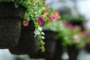 Hanging Baskets Posters - Row of Hanging Baskets Shallow DOF Poster by Amy Cicconi