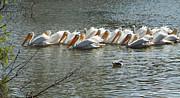 Diana Haronis - Row of White Pelicans