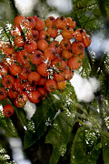 Large Leaves Prints - Rowan berries Print by Tommy Hammarsten