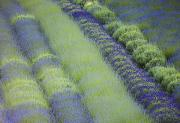 In Full Bloom Prints - Rows Of Different Lavender Plants In A Print by Debra Brash