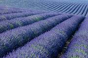 Crop Lines Art - Rows of Lavender by Brian Jannsen