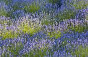 Featured Metal Prints - Rows Of Lavender Plants In A Field In Metal Print by Debra Brash