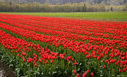 Agassiz Prints - Rows of Red Tulips Print by James Wheeler