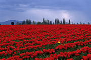 Rows Of Red Tulips With One Yellow Tulip  Print by Jim Corwin