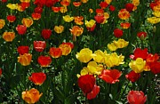 Rows Of Tulips Print by Kathleen Struckle