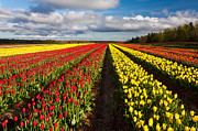 Matt Dobson - Rows of Tulips