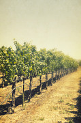 Wine Country Prints - Rows of Vines Print by Margie Hurwich