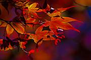 Royal Autumn A Print by Jennifer Apffel