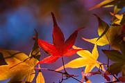 Royal Autumn B Print by Jennifer Apffel