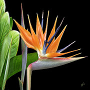 Exotic Digital Art Framed Prints - Royal Beauty I - Bird Of Paradise Framed Print by Ben and Raisa Gertsberg