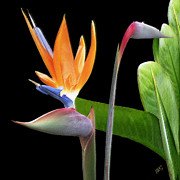 Birds And Flowers Posters - Royal Beauty II - Bird Of Paradise Poster by Ben and Raisa Gertsberg