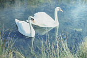 Swans... Posters - Royal Birds Poster by Sharon Lisa Clarke