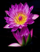 Waterlily Art - Royal Lily by Nick Zelinsky