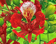 Larry Nieland - Royal Poinciana
