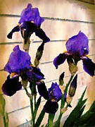 Judy Palkimas - Royal Purple Iris
