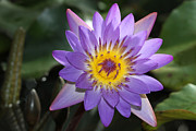 Judy Whitton - Royal Purple Water Lily...