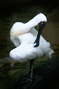 Regia Prints - Royal Spoonbill Print by Melody and Michael Watson