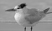 Siesta Key Prints - Royal Tern on Siesta Key Print by Betsy A Cutler East Coast Barrier Islands