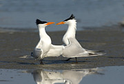 Anthony Mercieca - Royal Tern Pair Doing Royal Dance