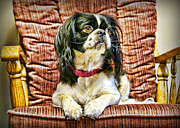 Japanese Chin Puppy Framed Prints - Royalty - Japanese Spaniel Framed Print by Cricket Hackmann