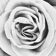 Black Roses Prints - RUBELITTE ROSE BW Palm Springs Print by William Dey