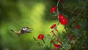 Cris Hayes - Ruby Cardinal Vine