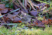 Tim Moore - Ruby-crested Kinglet