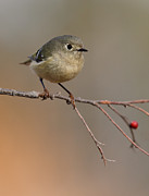 Ruby-crowned Kinglet Birds Photos - Ruby-crowned Kinglet - Female by Howard Cheek