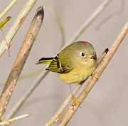 Don Herd - Ruby-Crowned Kinglet #1