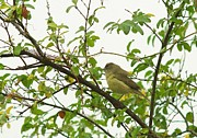 Ruby-crowned Kinglet Birds Photos - Ruby Crowned Kinglet 2 by Billy  Griffis Jr