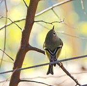 Ruby-crowned Kinglet Birds Photos - Ruby-crowned Kinglet by Cathy Alba