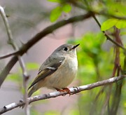 Ruby-crowned Kinglet Birds Photos - Ruby Crowned Kinglet by Deena Stoddard
