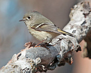 Birds Prints - Ruby Crowned Kinglet Print by Mike Dickie