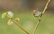 Birds - Ruby-crowned Kinglet  by Mircea Costina Photography
