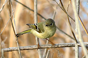 Ruby-crowned Kinglet Birds Photos - Ruby Crowned by Phil Inman