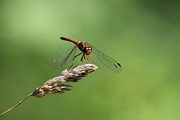 Dragonfly Digital Art Framed Prints - Ruby Meadowhawk Dragonfly Framed Print by Christina Rollo